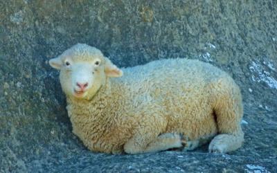 Schaf bei den Elephant Rocks