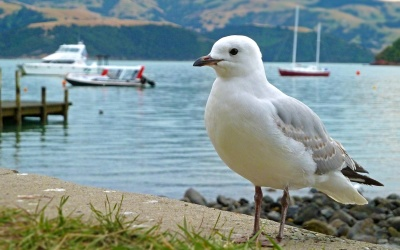 Möwe in Akaroa