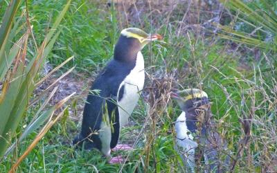 Wilde Pinguine
