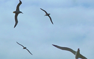 Albatros / Albatrosse