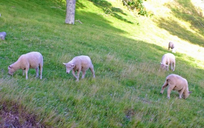 Schafe auf Mount Maunganui